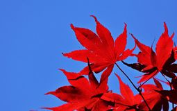 Red leaves against the blue sky royalty free stock image