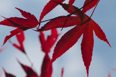 Red leaves. Against bright blue sky Royalty Free Stock Photo