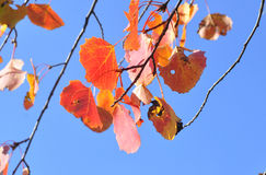 Red leaves against the sky. Stock Image