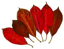 Red Leaves. An arrangement of colorful red leaves Royalty Free Stock Photography