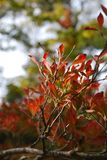 Red leaves in autum Royalty Free Stock Photo