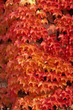Red leaves in autumn Royalty Free Stock Photography