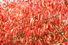 Red leaves in autumn Royalty Free Stock Images