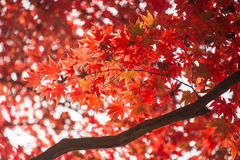 Red leaves in autumn. Abstract background. Royalty Free Stock Photos