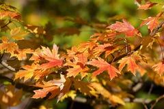 Autumn foliage. Red leaves in autumn - autumn foliage royalty free stock image