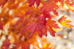 Red leaves during autumn fall season at mount lofty botanical gardens south australia on 16th April 2019. Red and orange leaves during autumn fall season at royalty free stock photos