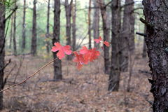 Red leaves. In autumn forest. bright colors royalty free stock image