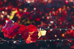 Red leaves of autumn grapes and the dew drops on a wire in the vineyard Stock Images