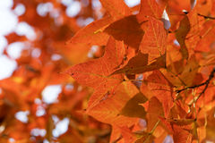 Red leaves in autumn Royalty Free Stock Photo