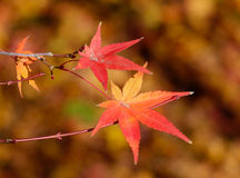 Red leaves in autumn in Kyoto, Japan Stock Images