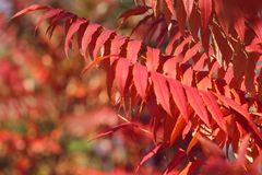 Red leaves in autumn. In morning sunlight stock images