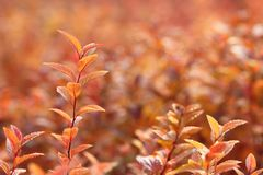 Red leaves in autumn. In morning sunlight on red background royalty free stock photos