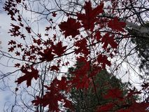 Red leaves. Autumn red leaves from oak tree in Pacific Northwest stock photo