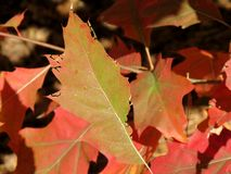 Red leaves in autumn. Orange and red leaves fallen down from a tree Royalty Free Stock Photography