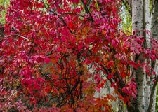 Red leaves in autumn. Many beautiful colors of autumn stock images