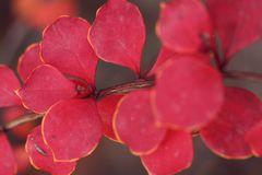 Red leaves in autumn royalty free stock image