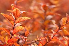 Red leaves in autumn stock image