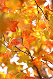 Red leaves in autumn season Royalty Free Stock Image