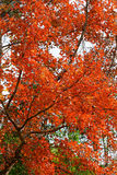 Red leaves autumn Royalty Free Stock Photo