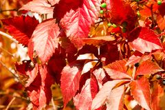 Red leaves in autumn sunny day. Autumn foliage scene, for background and design. Red leaves in autumn sunny day. Autumn foliage scene. For background and design stock photos