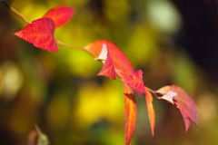 Red leaves in autumn Stock Photos