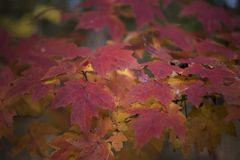 Red Leaves of Autumns beauty Stock Photography