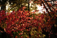 Red leaves in back light Royalty Free Stock Photography