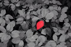 Red leaves on back and white background Stock Photography