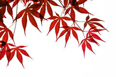 Red leaves background. Red leaf shined by sunlight Royalty Free Stock Photos