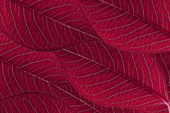 Red leaves background. Abstract background red leaves arranged beautifully with detail and texture royalty free stock image