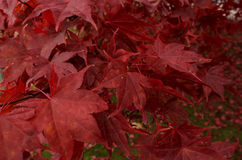 Red Leaves Background. Red Leaves in Autumn, one of the many beautiful hues of the season Stock Image