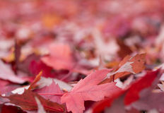 Red leaves background Royalty Free Stock Photography