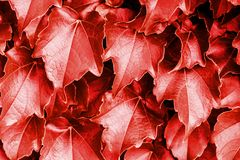 Red leaves background. Natural fresh abstract pattern.  royalty free stock photo