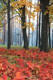 Red leaves on the background of trees. In the morning Royalty Free Stock Photo