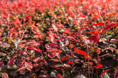 Red leaves in backlight Royalty Free Stock Images