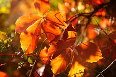 The red leaves of backlighting Royalty Free Stock Images