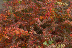 Red leaves of barberry autumn foggy morning Royalty Free Stock Photo
