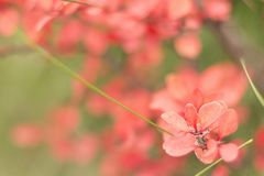 Red leaves of barberry stock photo