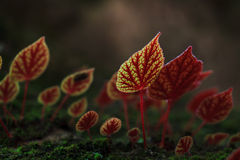 Red leaves of Begonia flowers at National Park Phitsanulok,Thail Stock Images