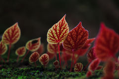 Red leaves of Begonia flowers at National Park Phitsanulok,Thail Stock Photo