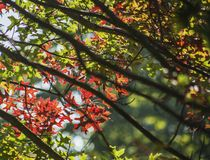 Red leaves and black branches - colourful autumn in England. This image shows a view of some branches full colourful leaves. It was taken in September in London stock photography