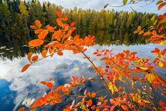 Red leaves of black chokeberry. Autumn landscape . Red leaves of black chokeberry on the lake Stock Photography