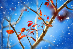 Red leaves on a blue background Royalty Free Stock Image