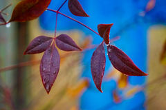 Red leaves with blue gate Stock Images