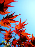 Red Leaves Blue Sky. Red leaves against a blue sky stock photo