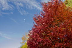 Red Leaves and Blue Sky Royalty Free Stock Images