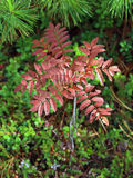 Red leaves of blueberry Royalty Free Stock Image