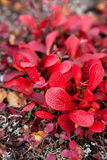Red Leaves on Tundra Royalty Free Stock Images