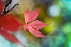 Red leaves and blur backgrounds Royalty Free Stock Image