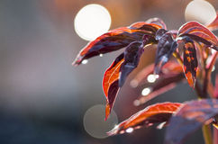 Red leaves and Bokeh. Illuminated leaves glowing with a crimson hue Royalty Free Stock Images